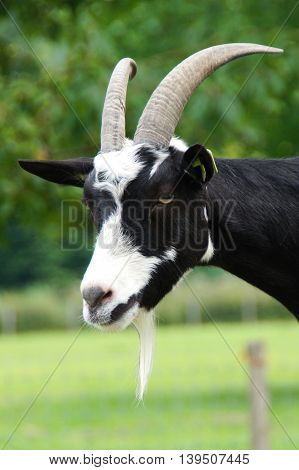 Curious common goat head with goatee - vertical