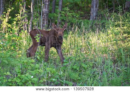 Moose calf stops to look while grazing