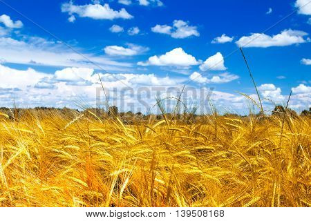 Field of yellow wheat on sunlight, cloudy sky, nature park Lonjsko polje, Croatia