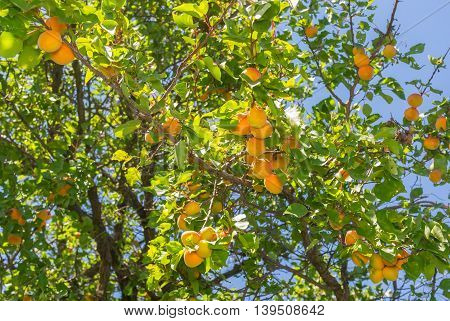 Ripe fruits on a wild organic apricot tree at summer time in Ukraine