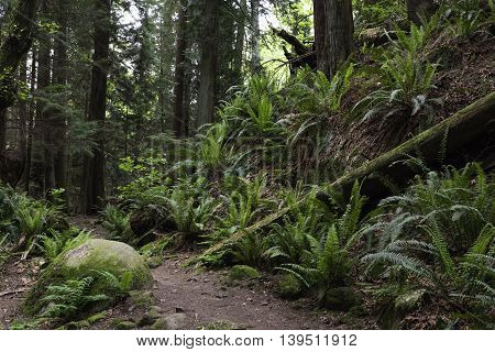Pathway through an old growth forest in Vancouver Canada