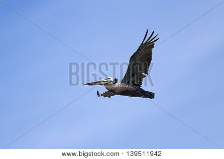 Brown pelican soars in the sky above Westhaven Cove in Westport Washington.