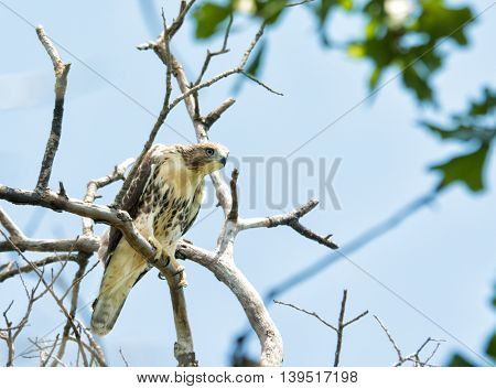 Juvenile Buteo jamaicensis, Red-tailed hawk, sitting on top of a tree, peeking down
