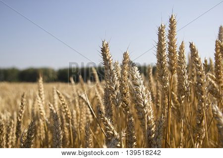 field of Golden ripe wheat as background