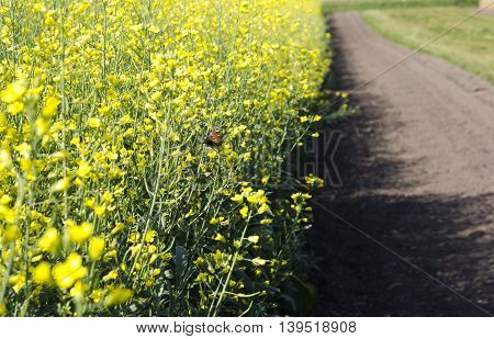 field of yellow blooming canola with butterfly