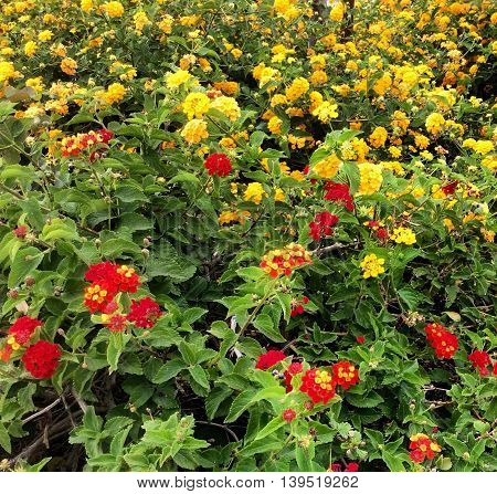 A garden bed of small red and yellow flowers with green leaves