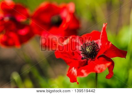 Red poppies flowering in the summer garden.