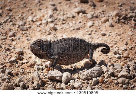 Chameleon in the desert in Namibia Africa