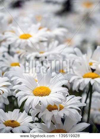 Bunch of fresh marguerite flowers growing in the garden