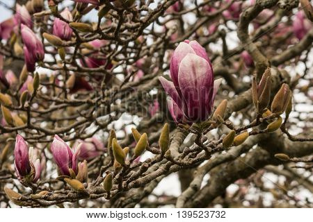 purple magnolia tree with flower in early spring