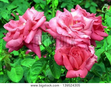'Miss All-American Beauty' rose in garden of Niagara Falls Ontario 16 July 2016 Canada