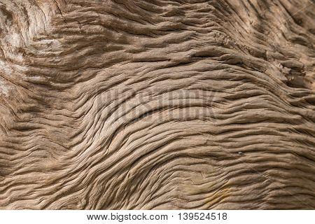 close up of wrinkled Pohutukawa tree trunk