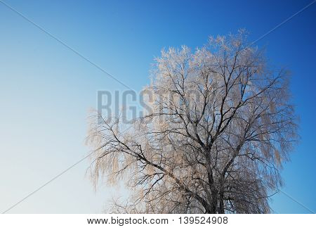 tree with white snow in blue sky in winter