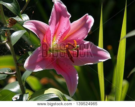 Lily.  Lodz, Poland - July - 21, 2016 Pink lily during flowering in a small housing estate garden in Lodz.