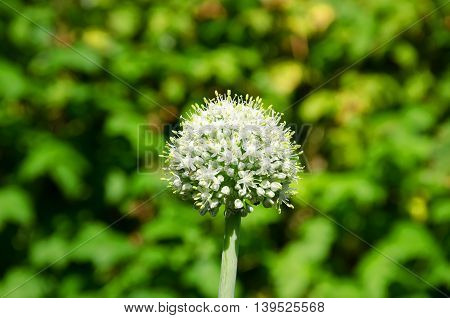 agriculture blooming summer garden vegetables fine chasnochoe inflorescence on a green background