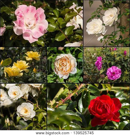 collection of colorful tea roses in bloom