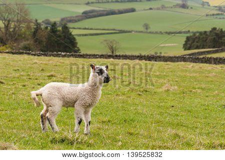 closeup of newborn lamb standing in paddock