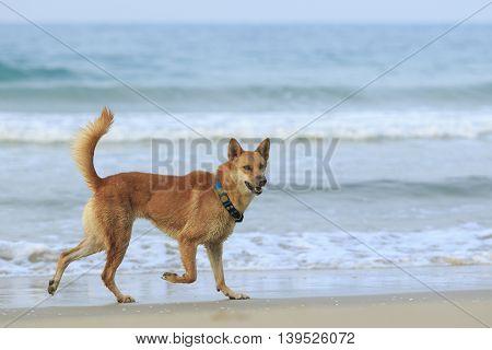 dog ,pet domestic running at sea beach