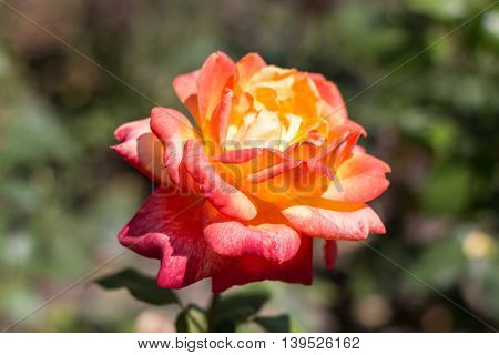 red rose flower - green garden background