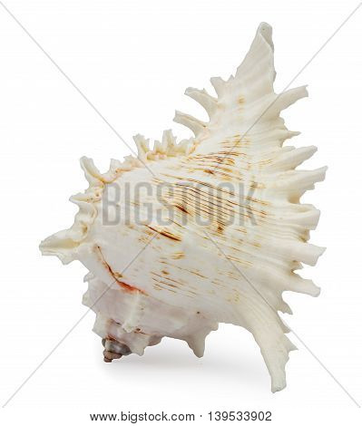 Beautiful chicoreus ramosus seashell on white background