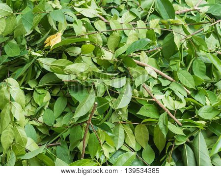 A pile of cut branchWrightia religiosa (Apocynaceae) and climbing ylang-ylang