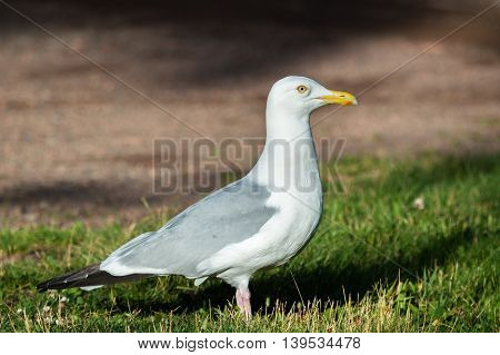 Herring Gull standing in grass at the end of the day.