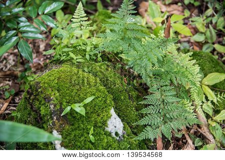 Ferns growing on a rock Tak ,Thailand.