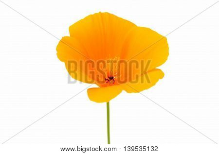 Eschscholzia californica flower on a white background