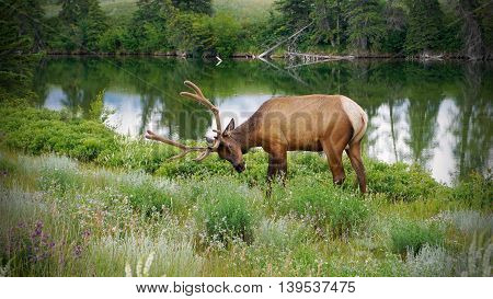 Male Elk in National Park looking at people