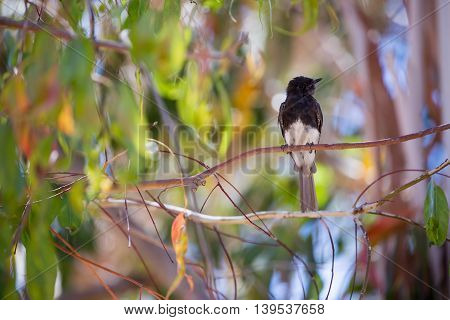 Black Phoebe (Sayornis nigricans) perched on a tree branch. The black phoebe is a passerine bird in the tyrant-flycatcher family.