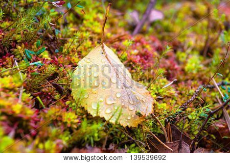 Autumn leaf with water drops on the moss in the forest