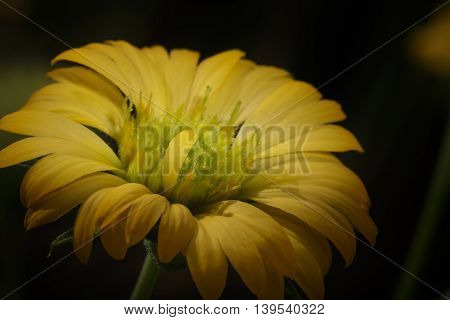 The Yellow flowers on dark nature background