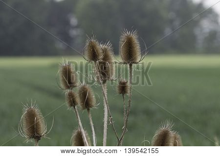 Teasel Seedheads . Germany , Northeim .