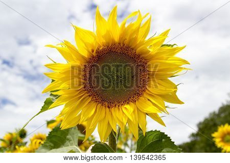 Sunflower field on a sunny day. Background of sunflower.