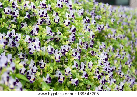 Wishbone flowers or Torenia in the garden and blur background