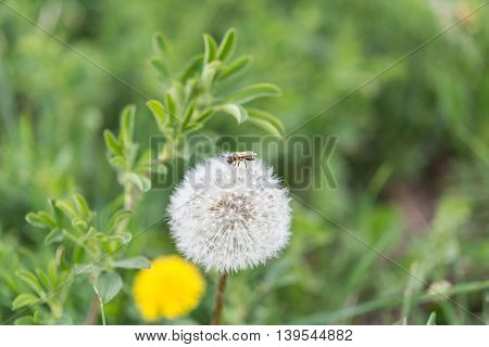 One single bee on a dandelion outdoor