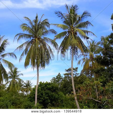 two tall coconut trees with thin trunks, surrounded by other more distant trees, against a blue sky.