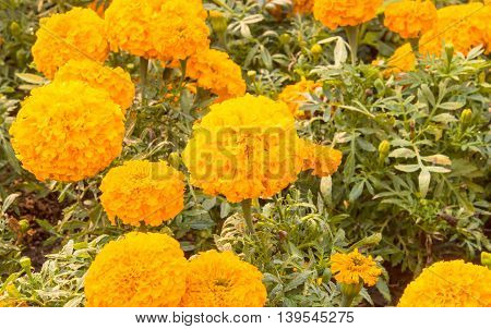 marigolds Beautiful bright yellow for design background.