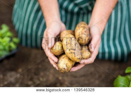 Midsection of gardener harvesting potatoes at greenhouse
