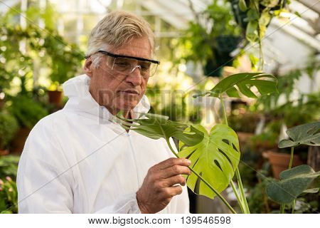 Male scientist in clean suit inspecting plant leaves at greenhouse