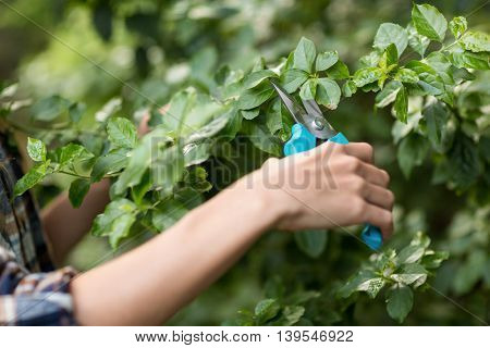 Cropped image of female gardener pruning plants at greenhouse