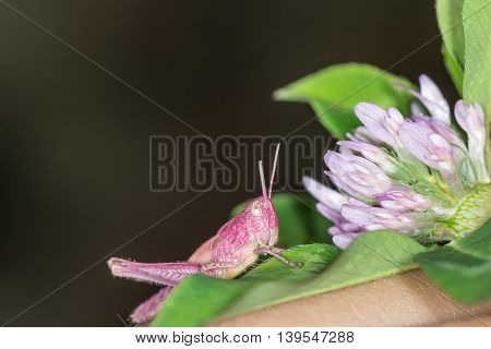 The Grasshopper and the clover flower.  This photograph was taken at dawn in a field near Kiev.