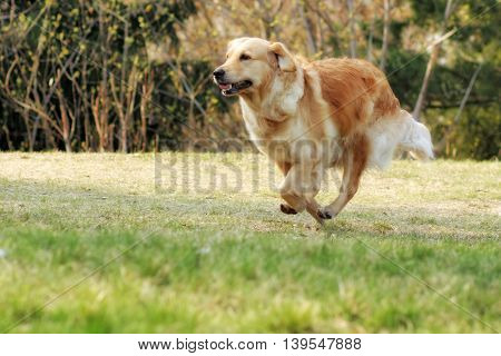Beautiful happy dog Golden Retriever running around and playing in the summer on the nature