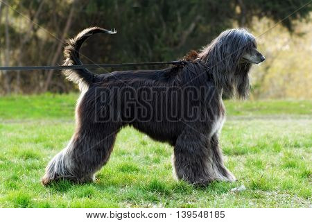 beautiful dog breed Afghan is on the leash in a full-length show positions in the summer and pulls it