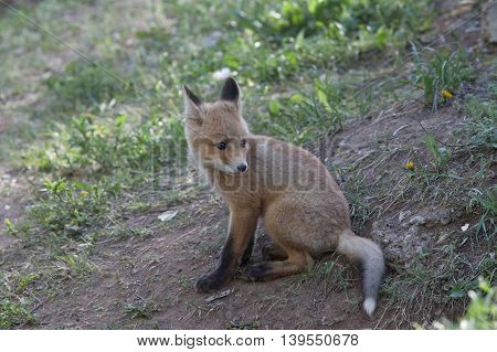 little furry red Fox walks through the woods and basking under the rays of the gentle sun