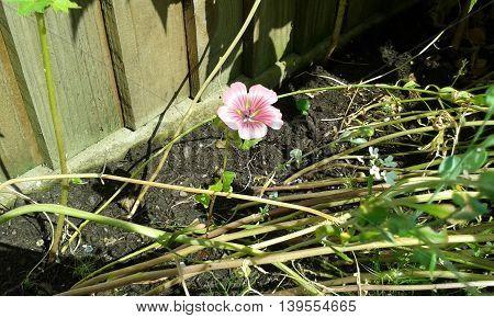 Solitary delicate pink flower stem in garden