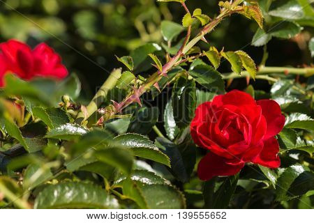 closeup of rose bush with red roses in bloom