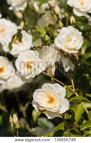 bunch of white tea roses in bloom