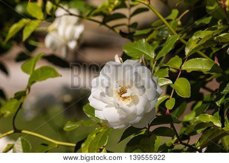 detail of white tea rose in bloom