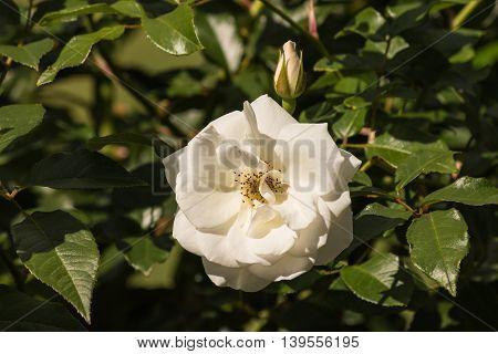 closeup of white tea rose in bloom